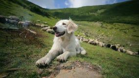 Το όμορφο αλπικό σκυλί ξένοιαστο βάζει στη χλόη στα Carpathians βουνά φιλμ μικρού μήκους