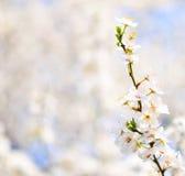 Το όμορφο δαμάσκηνο bracnh με τα λουλούδια ενάντια backgroiund Στοκ Φωτογραφία