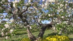 Το όμορφο ανθίζοντας δέντρο μηλιάς καλλιεργεί την άνοιξη απόθεμα βίντεο