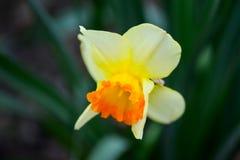 Το όμορφο ελατήριο ανθίζει το jonquilla ναρκίσσων, jonquil, βιασύνη daffodil στοκ φωτογραφία με δικαίωμα ελεύθερης χρήσης