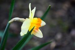 Το όμορφο ελατήριο ανθίζει το jonquilla ναρκίσσων, jonquil, βιασύνη daffodil στοκ εικόνα με δικαίωμα ελεύθερης χρήσης