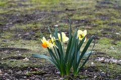 Το όμορφο ελατήριο ανθίζει το jonquilla ναρκίσσων, jonquil, βιασύνη daffodil στοκ φωτογραφίες