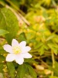 Το όμορφο ενιαίο άσπρο anemone σε μερικοί βγάζει φύλλα την άνοιξη ελαφρύ Στοκ φωτογραφία με δικαίωμα ελεύθερης χρήσης