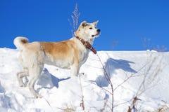 Το όμορφο εντυπωσιακό σκυλί ιαπωνικό Akita Inu στέκεται στο χιόνι σε ένα φωτεινό υπόβαθρο μπλε ουρανού το χειμώνα Στοκ Εικόνες