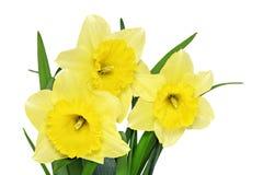 Το όμορφο ελατήριο ανθίζει στο βάζο: κίτρινοι νάρκισσοι (Daffodil) Στοκ εικόνες με δικαίωμα ελεύθερης χρήσης