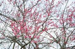 Το όμορφο ελατήριο ανθίζει το ροζ Στοκ φωτογραφίες με δικαίωμα ελεύθερης χρήσης