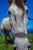Το όμορφο ελαφρύ άλογο βόσκει στο λιβάδι μέχρι το φθινόπωρο Στοκ φωτογραφία με δικαίωμα ελεύθερης χρήσης