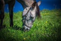 Το όμορφο ελαφρύ άλογο βόσκει στο λιβάδι μέχρι το φθινόπωρο Στοκ Φωτογραφία