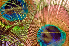 Το όμορφο ζωηρόχρωμο φτερό peacock, κλείνει αυξημένος στοκ εικόνα