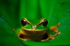 Το όμορφο ζώο στο τροπικό δάσος κάλυψε Smilisca, phaeota Smilisca, εξωτικός τροπικός πράσινος βάτραχος από τη Κόστα Ρίκα, πορτρέτ στοκ φωτογραφία με δικαίωμα ελεύθερης χρήσης