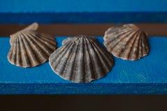 Το όμορφο θαλασσινό κοχύλι στο ξύλινο υπόβαθρο, κλείνει επάνω την άποψη της σύστασης και του υποβάθρου οστράκων για το σχέδιο Στοκ Φωτογραφίες
