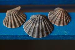 Το όμορφο θαλασσινό κοχύλι στο ξύλινο υπόβαθρο, κλείνει επάνω την άποψη της σύστασης και του υποβάθρου οστράκων για το σχέδιο Στοκ Εικόνα