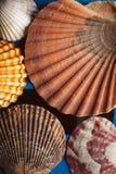 Το όμορφο θαλασσινό κοχύλι στο ξύλινο υπόβαθρο, κλείνει επάνω την άποψη της σύστασης και του υποβάθρου οστράκων για το σχέδιο Στοκ φωτογραφίες με δικαίωμα ελεύθερης χρήσης