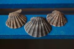 Το όμορφο θαλασσινό κοχύλι στο ξύλινο υπόβαθρο, κλείνει επάνω την άποψη της σύστασης και του υποβάθρου οστράκων για το σχέδιο Στοκ Εικόνες