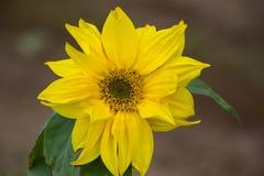 Το όμορφο κίτρινο λουλούδι ενός ηλίανθου άνθισε σε έναν τομέα Στοκ Εικόνες
