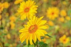 Το όμορφο κίτρινο λουλούδι ενός ηλίανθου άνθισε σε έναν τομέα Στοκ εικόνες με δικαίωμα ελεύθερης χρήσης