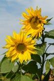 Το όμορφο κίτρινο λουλούδι ενός ηλίανθου άνθισε σε έναν τομέα Στοκ Εικόνα