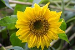 Το όμορφο κίτρινο λουλούδι ενός ηλίανθου άνθισε σε έναν τομέα Στοκ φωτογραφία με δικαίωμα ελεύθερης χρήσης