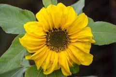 Το όμορφο κίτρινο λουλούδι ενός ηλίανθου άνθισε σε έναν τομέα Στοκ Φωτογραφία