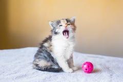 Το όμορφο και ζωηρόχρωμο γατάκι παρουσιάζει γλώσσα χασμουρητά ηλικία 3 mont Στοκ φωτογραφία με δικαίωμα ελεύθερης χρήσης