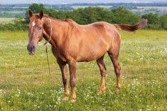 Το όμορφο καφετί άλογο ταΐζει στον πράσινο τομέα Στοκ φωτογραφία με δικαίωμα ελεύθερης χρήσης
