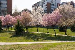 Το όμορφο κεράσι ανθίζει ρόδινο δέντρο και πράσινο λιβάδι με την εποχή πορειών περπατήματος την άνοιξη στο πάρκο την ηλιόλουστη η στοκ εικόνα