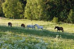 Το όμορφο κοπάδι των αλόγων βόσκει την άνοιξη το λιβάδι Στοκ Φωτογραφίες