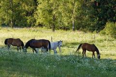 Το όμορφο κοπάδι των αλόγων βόσκει την άνοιξη το λιβάδι Στοκ Εικόνα