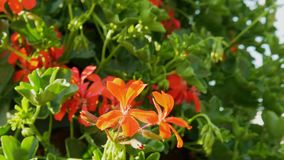 Το όμορφο κόκκινο λουλούδι στο πράσινο υπόβαθρο φύλλων, κλείνει επάνω την άποψη απόθεμα βίντεο