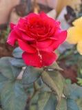το όμορφο κόκκινο λουλ&omic Στοκ Φωτογραφία