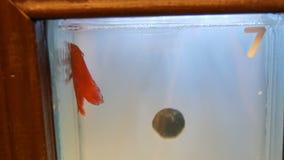 Το όμορφο κόκκινο ψάρι κοκκόρων με μια εντυπωσιακά μακριά ουρά και ένα πτερύγιο επιπλέει σε ένα μίνι ενυδρείο απόθεμα βίντεο