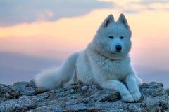 Το όμορφο λευκό το σκυλί που στέκεται σε έναν βράχο στο ηλιοβασίλεμα Στοκ Εικόνες