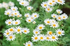 Το όμορφο λουλούδι και το πράσινο υπόβαθρο φύλλων στο λουλούδι καλλιεργούν στην ηλιόλουστη ημέρα καλοκαιριού ή άνοιξης λουλούδι γ Στοκ εικόνα με δικαίωμα ελεύθερης χρήσης