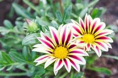 Το όμορφο λουλούδι και το πράσινο υπόβαθρο φύλλων στο λουλούδι καλλιεργούν στην ηλιόλουστη ημέρα καλοκαιριού ή άνοιξης λουλούδι γ Στοκ φωτογραφία με δικαίωμα ελεύθερης χρήσης