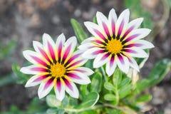 Το όμορφο λουλούδι και το πράσινο υπόβαθρο φύλλων στο λουλούδι καλλιεργούν στην ηλιόλουστη ημέρα καλοκαιριού ή άνοιξης λουλούδι γ Στοκ εικόνες με δικαίωμα ελεύθερης χρήσης