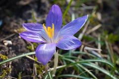 Το όμορφο λουλούδι κρόκων διακοσμεί την όμορφη φύση του τομέα Στοκ Φωτογραφίες