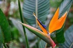 Το όμορφο λουλούδι Strelitzia Reginae περιέβαλε τα φύλλα Πορτοκαλιά και σκούρο μπλε ασυνήθιστη μορφή λουλουδιών στο πουλί μορφής  Στοκ εικόνα με δικαίωμα ελεύθερης χρήσης