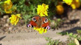 Το όμορφο μάτι πεταλούδων peacock συλλέγει το νέκταρ στα κίτρινα λουλούδια φιλμ μικρού μήκους
