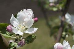 Το όμορφο μήλο ανθίζει την άνοιξη Στοκ Εικόνες