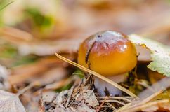 Το όμορφο μανιτάρι αυξάνεται στο δάσος νεράιδων φθινοπώρου στοκ εικόνες