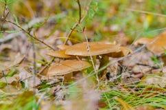 Το όμορφο μανιτάρι αυξάνεται στο δάσος νεράιδων φθινοπώρου στοκ φωτογραφίες με δικαίωμα ελεύθερης χρήσης