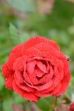 Το όμορφο μπουμπούκι τριαντάφυλλου κόκκινο αυξήθηκε με τις πτώσεις του νερού στο υπόβαθρο των πράσινων φύλλων στη θαμπάδα Στοκ εικόνες με δικαίωμα ελεύθερης χρήσης