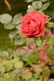 Το όμορφο μπουμπούκι τριαντάφυλλου κόκκινο αυξήθηκε στο υπόβαθρο των πράσινων φύλλων στη θαμπάδα Στοκ Φωτογραφίες
