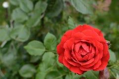 Το όμορφο μπουμπούκι τριαντάφυλλου κόκκινο αυξήθηκε στο υπόβαθρο των πράσινων φύλλων στη θαμπάδα Στοκ εικόνες με δικαίωμα ελεύθερης χρήσης