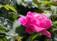 Το όμορφο λουλούδι ανοίγει τον οφθαλμό του στον ήλιο στοκ εικόνα