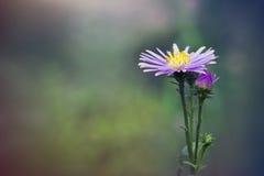 Το όμορφο λουλούδι μαργαριτών gerbera στον κήπο, gerbera είναι το bea Στοκ Εικόνες
