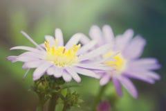 Το όμορφο λουλούδι μαργαριτών gerbera στον κήπο, gerbera είναι το bea Στοκ φωτογραφία με δικαίωμα ελεύθερης χρήσης
