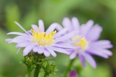 Το όμορφο λουλούδι μαργαριτών gerbera στον κήπο, gerbera είναι το bea Στοκ Εικόνα