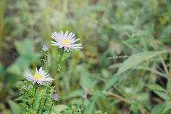 Το όμορφο λουλούδι μαργαριτών gerbera στον κήπο, gerbera είναι το bea Στοκ εικόνα με δικαίωμα ελεύθερης χρήσης