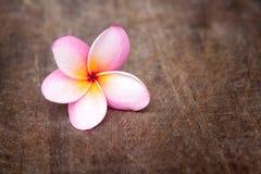 Το όμορφο λουλούδι Plumeria Στοκ εικόνες με δικαίωμα ελεύθερης χρήσης
